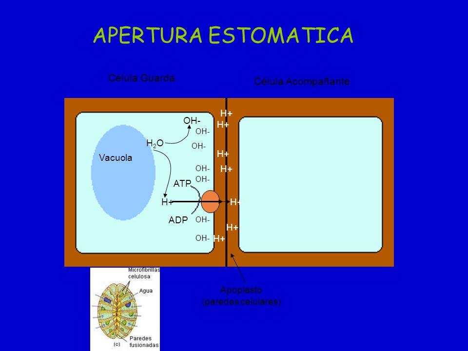 H+ ATP ADP H2OH2O OH- Vacuola Apoplasto (paredes celulares) Célula Guarda Célula Acompañante H+ OH- H+ APERTURA ESTOMATICA