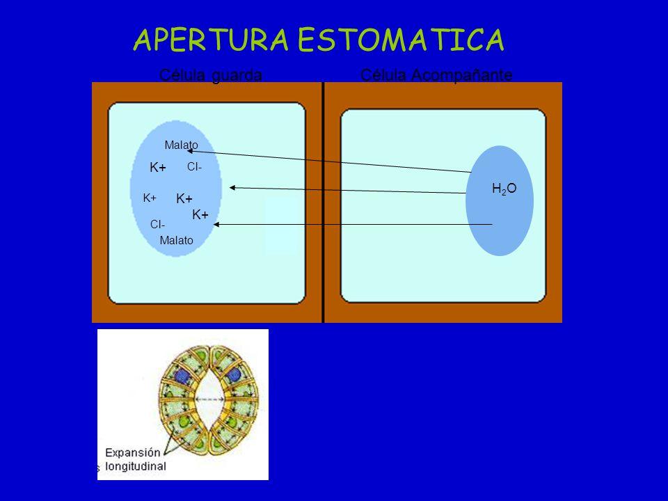 K+ Cl- Malato K+ H2OH2O Célula guardaCélula Acompañante APERTURA ESTOMATICA