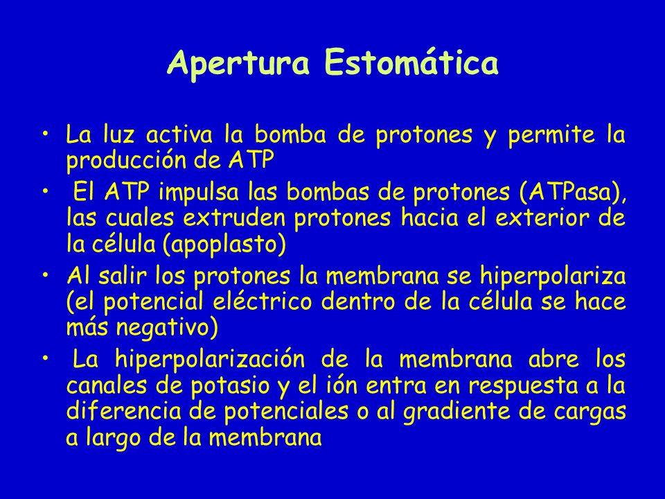 Apertura Estomática La luz activa la bomba de protones y permite la producción de ATP El ATP impulsa las bombas de protones (ATPasa), las cuales extru