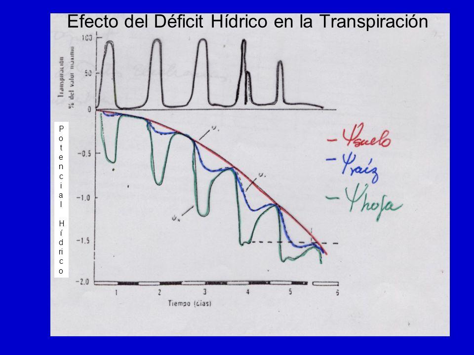 P o t e n c i a l H í d ri c o Efecto del Déficit Hídrico en la Transpiración
