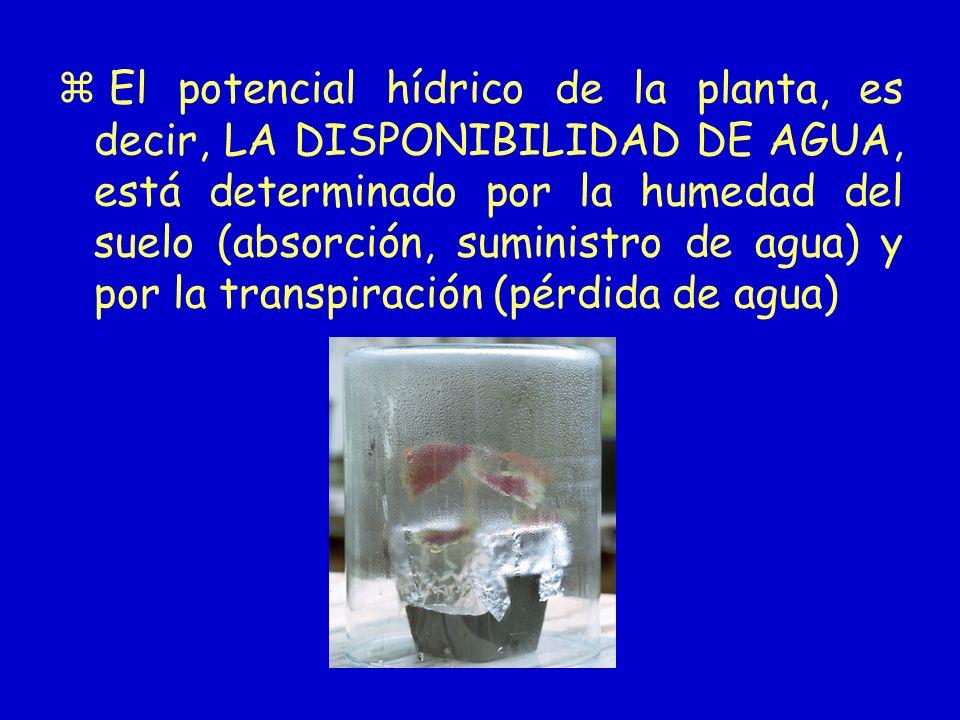 El potencial hídrico de la planta, es decir, LA DISPONIBILIDAD DE AGUA, está determinado por la humedad del suelo (absorción, suministro de agua) y po