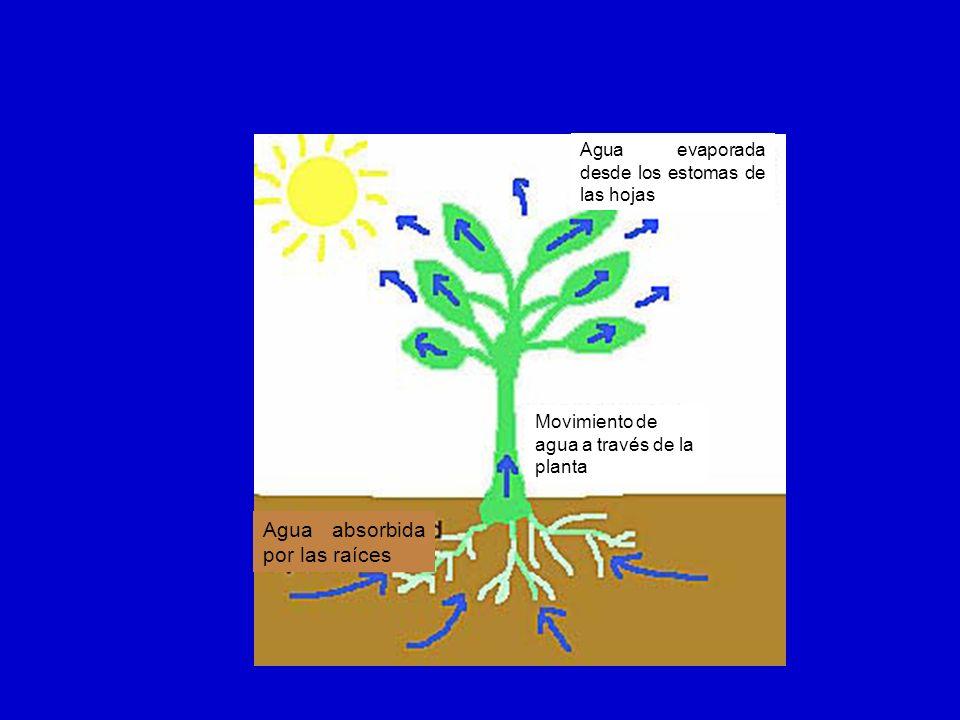 Agua evaporada desde los estomas de las hojas Movimiento de agua a través de la planta Agua absorbida por las raíces