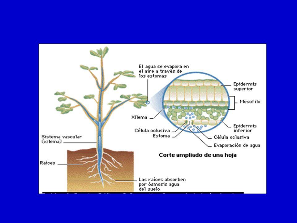 CIERRE ESTOMATICO Hidropasivo Hidroactivo Falta de luz (oscuridad) Estrés hídrico (ABA) Nota: La apertura y cierre de los estomas es el mecanismo de regulación mas importante de la pérdida de agua en las plantas.