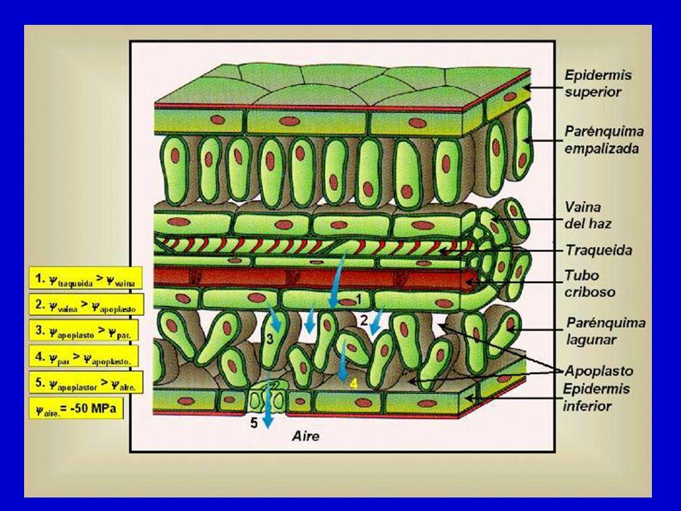 FUERZA IMPULSORA DE LA TRANSPIRACIÓN La fuerza que impulsa la transpiración es la diferencia de potencial hídrico entre el espacio aéreo subestomático y la atmósfera externa Como la traspiración es pérdida de agua en forma de vapor esta diferencia de potenciales la expresamos como gradientes de presión de vapor