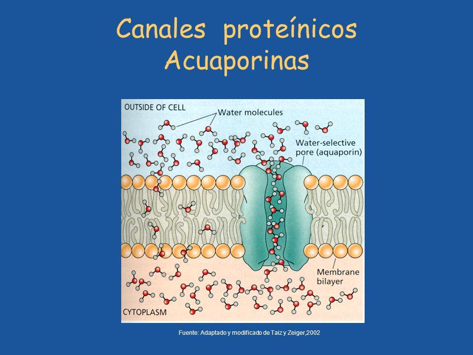 Canales proteínicos Acuaporinas Fuente: Adaptado y modificado de Taiz y Zeiger,2002