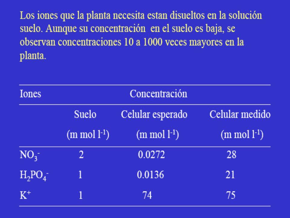 Gradiente de potencial electroquímico para el sustrato B Gradiente de potencial electroquímico para el sustrato A Exterior de la célula CITOPLASMA alto bajo alto Tema 6.- Absorción y transporte de solutos Fuente: Adaptado y modificado de Taiz y Zeiger,2002
