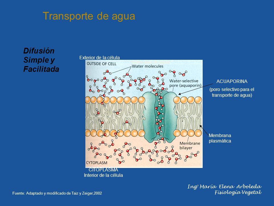 ACUAPORINA (poro selectivo para el transporte de agua) moléculas de agua Exterior de la célula CITOPLASMA Interior de la célula Membrana plasmática Tr