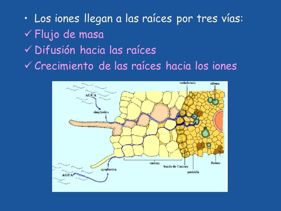 Los iones llegan a las raíces por tres vías: Flujo de masa Difusión hacia las raíces Crecimiento de las raíces hacia los iones