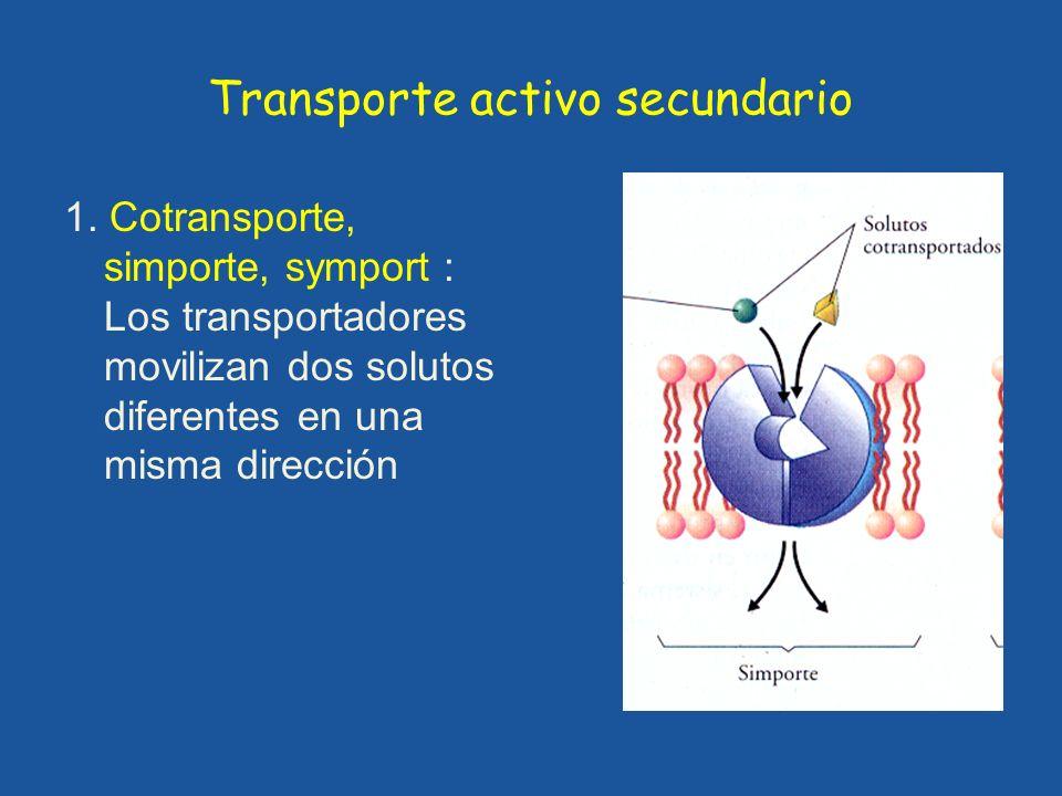 Transporte activo secundario 1. Cotransporte, simporte, symport : Los transportadores movilizan dos solutos diferentes en una misma dirección