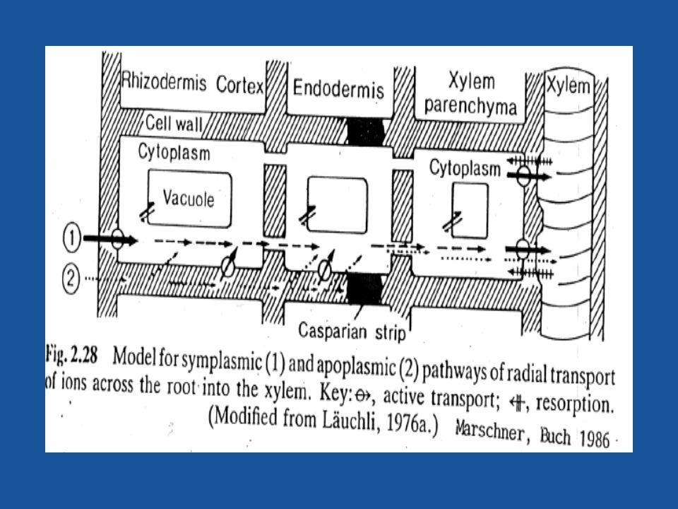 Transporte Pasivo: Canales de K+, Cl-, y Ca+ y agua (depende de la polarización de la membrana por las ATPasas).