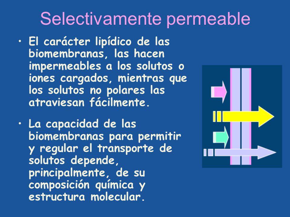 Selectivamente permeable El carácter lipídico de las biomembranas, las hacen impermeables a los solutos o iones cargados, mientras que los solutos no