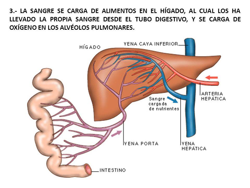 4.- LA SANGRE REALIZA OTRAS FUNCIONES, COMO TRANSPORTAR LOS PRODUCTOS DE DESECHO HASTA LOS ÓRGANOS DE LA EXCRECIÓN, TRANSPORTAR HORMONAS, REGULAR LA TEMPERATURA, INTERVENIR EN LAS REACCIONES DEFENSIVAS DEL ORGANISMO, ETC.