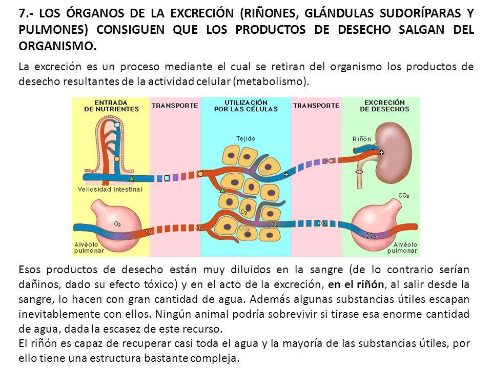 7.- LOS ÓRGANOS DE LA EXCRECIÓN (RIÑONES, GLÁNDULAS SUDORÍPARAS Y PULMONES) CONSIGUEN QUE LOS PRODUCTOS DE DESECHO SALGAN DEL ORGANISMO. La excreción