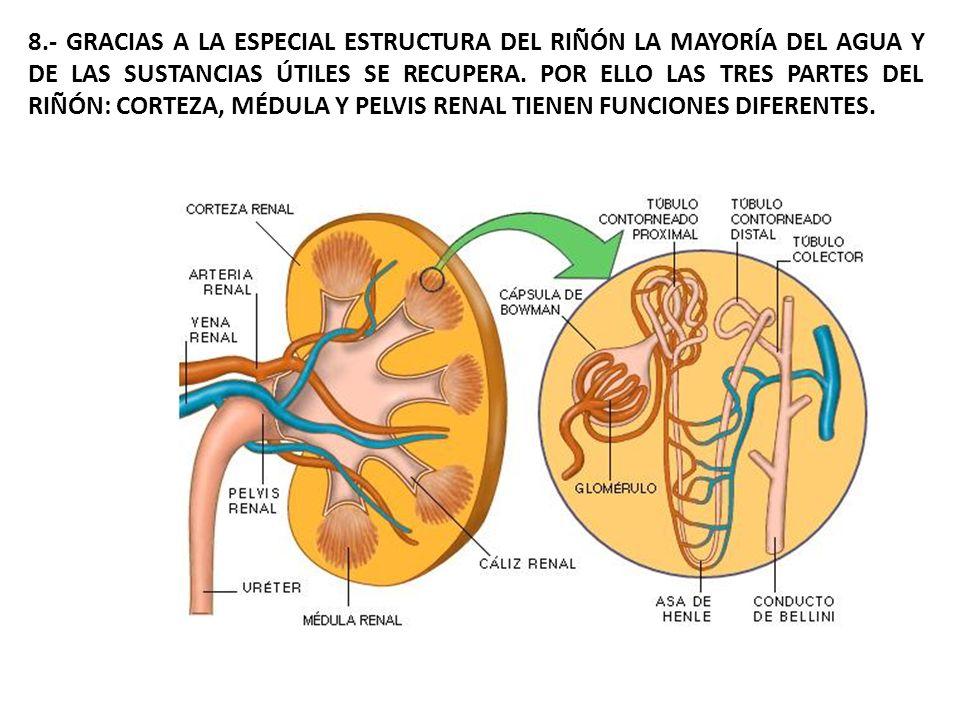 Los productos de desecho llegan al riñón transportados por la sangre, En cada nefrona los vasos sanguíneos forman un sistema capilar microscópico, apelotonado, en forma de ovillo (Glomérulo de Malpigio).