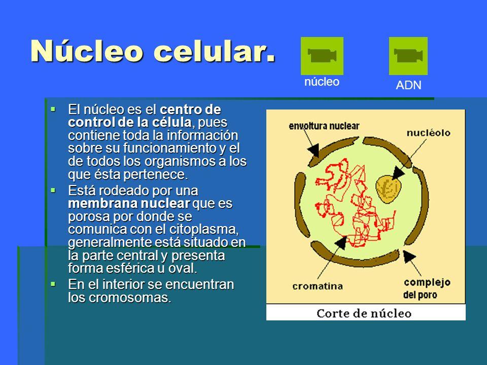 Núcleo celular. El núcleo es el centro de control de la célula, pues contiene toda la información sobre su funcionamiento y el de todos los organismos