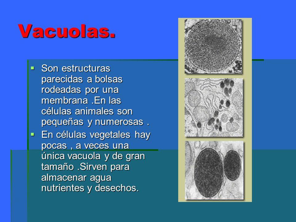Vacuolas. Son estructuras parecidas a bolsas rodeadas por una membrana.En las células animales son pequeñas y numerosas. Son estructuras parecidas a b