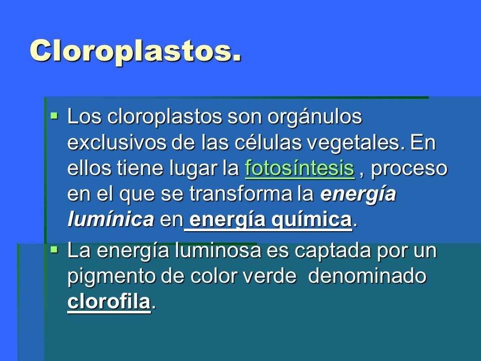 Cloroplastos. Los cloroplastos son orgánulos exclusivos de las células vegetales. En ellos tiene lugar la fotosíntesis, proceso en el que se transform