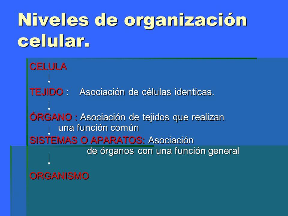 Niveles de organización celular. CELULA TEJIDO : Asociación de células identicas. ÓRGANO : Asociación de tejidos que realizan una función común SISTEM