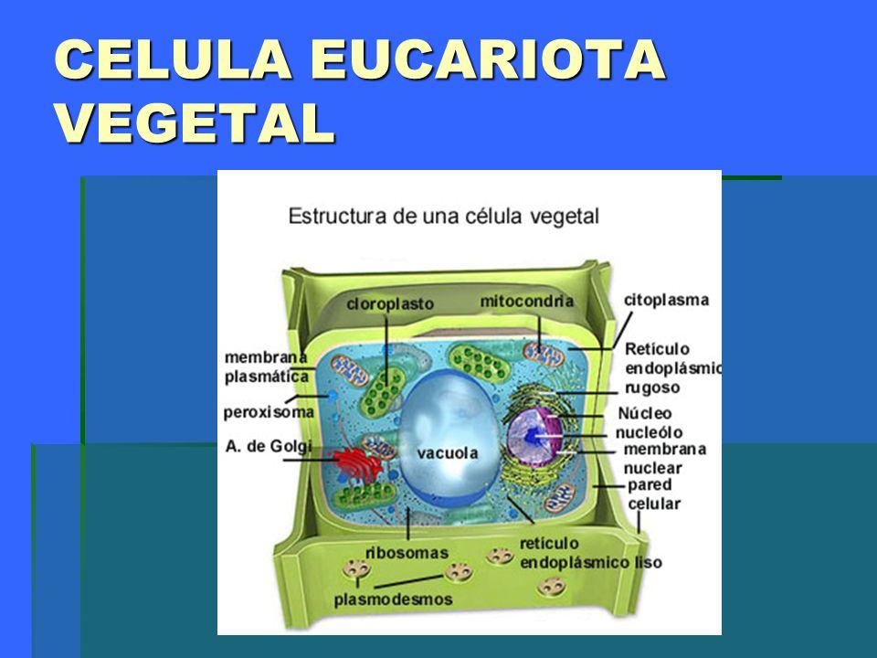 Lisosomas.Son pequeñas vesículas rodeadas por membrana y que contienen enzimas digestivos.