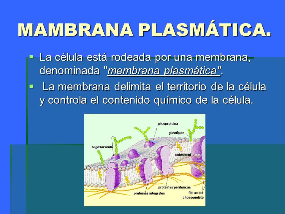 MEMBRANA PLASMÁTICA La membrana plasmática representa el límite entre el medio extracelular y el intracelular.