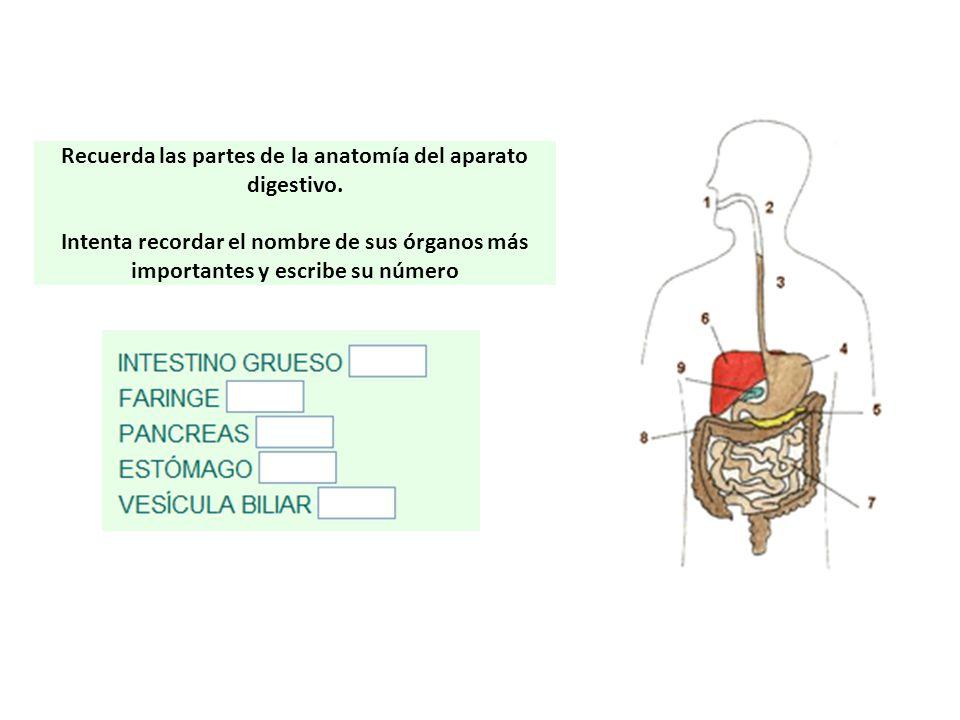 Recuerda las partes de la anatomía del aparato digestivo. Intenta recordar el nombre de sus órganos más importantes y escribe su número