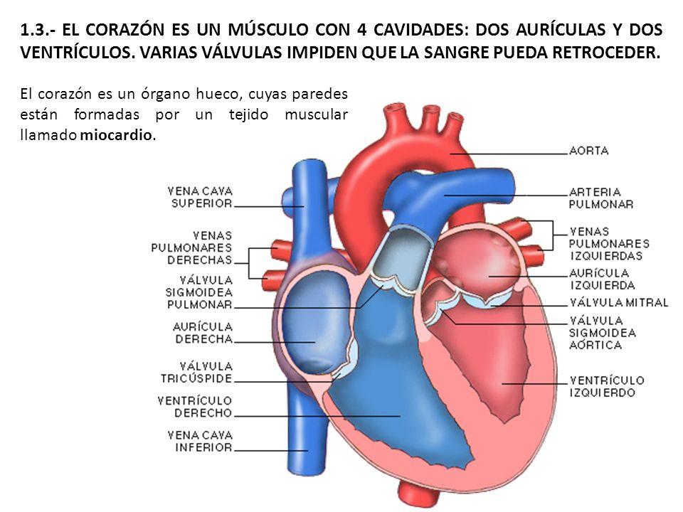 1.3.- EL CORAZÓN ES UN MÚSCULO CON 4 CAVIDADES: DOS AURÍCULAS Y DOS VENTRÍCULOS. VARIAS VÁLVULAS IMPIDEN QUE LA SANGRE PUEDA RETROCEDER. El corazón es