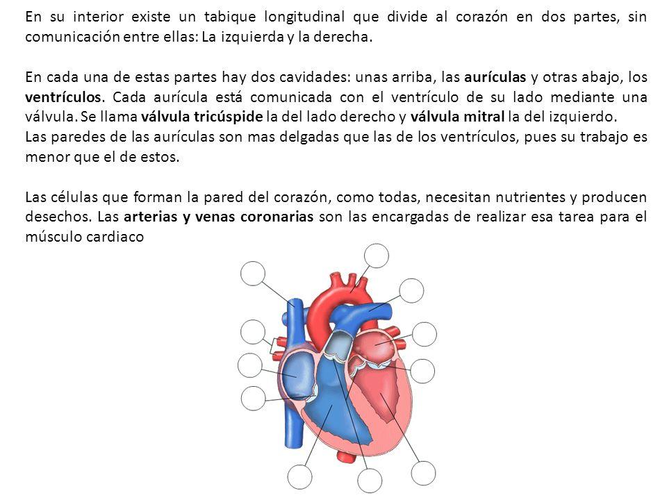 En su interior existe un tabique longitudinal que divide al corazón en dos partes, sin comunicación entre ellas: La izquierda y la derecha. En cada un