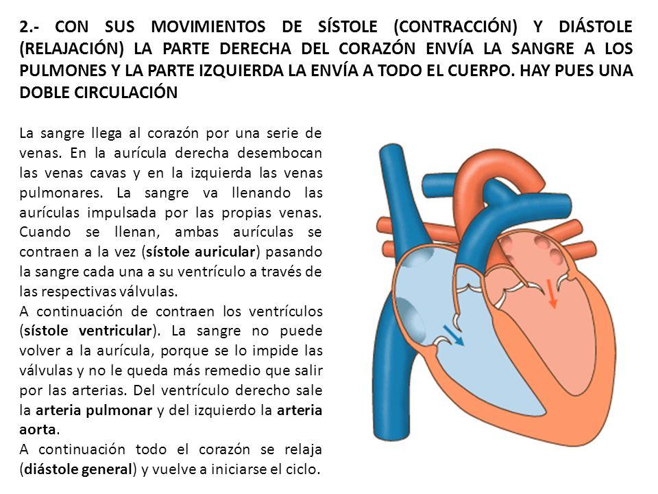 2.- CON SUS MOVIMIENTOS DE SÍSTOLE (CONTRACCIÓN) Y DIÁSTOLE (RELAJACIÓN) LA PARTE DERECHA DEL CORAZÓN ENVÍA LA SANGRE A LOS PULMONES Y LA PARTE IZQUIE