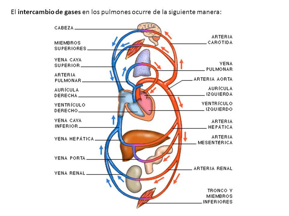 El intercambio de gases en los pulmones ocurre de la siguiente manera: