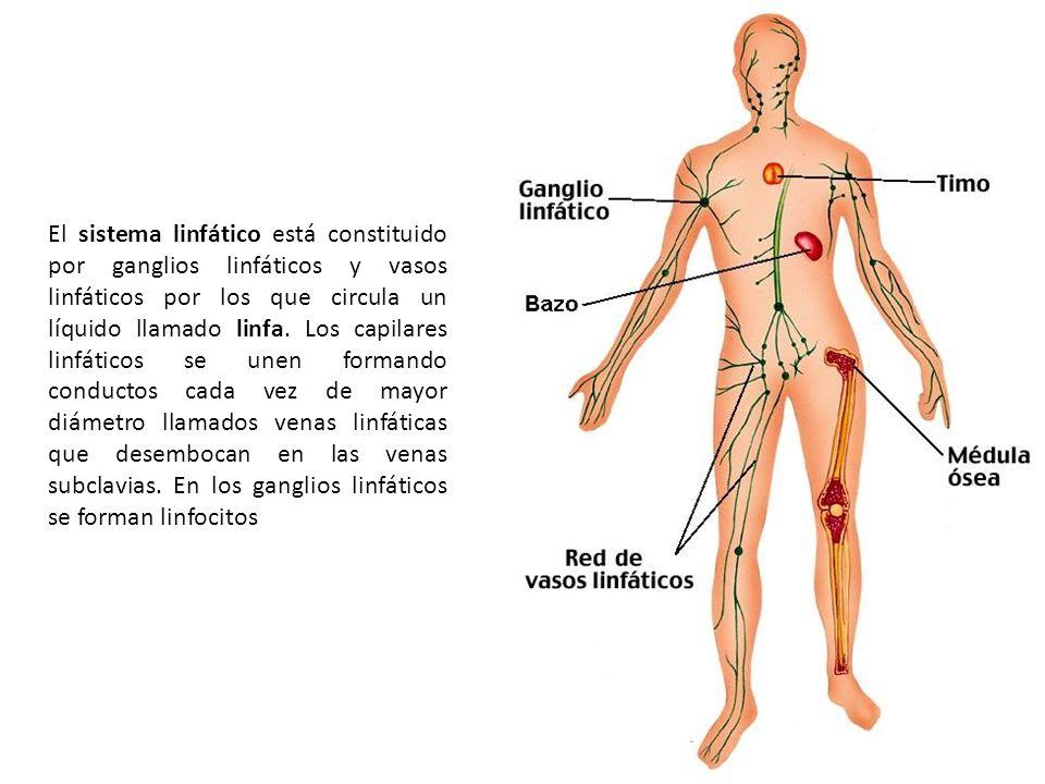 El sistema linfático está constituido por ganglios linfáticos y vasos linfáticos por los que circula un líquido llamado linfa. Los capilares linfático