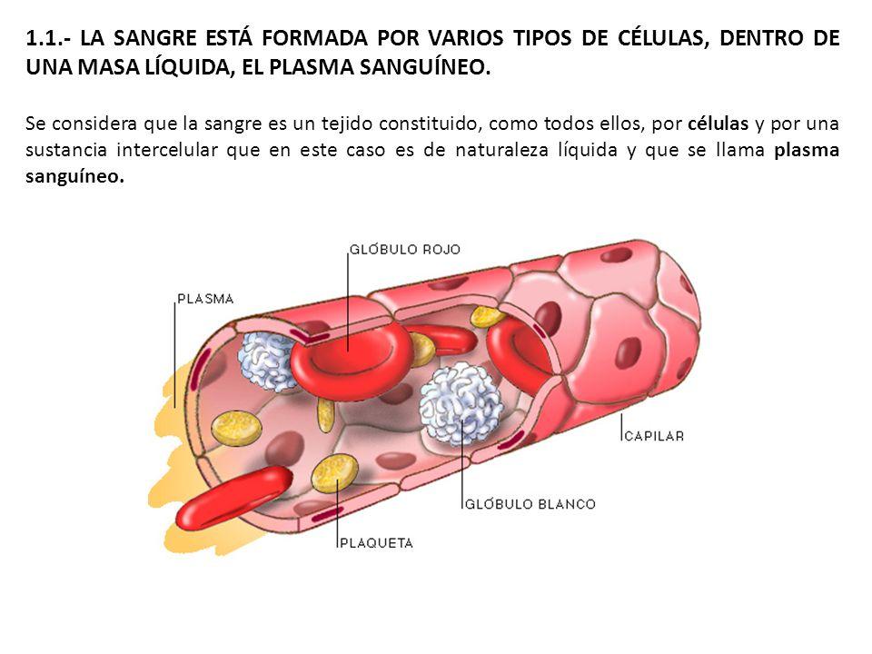 1.1.- LA SANGRE ESTÁ FORMADA POR VARIOS TIPOS DE CÉLULAS, DENTRO DE UNA MASA LÍQUIDA, EL PLASMA SANGUÍNEO. Se considera que la sangre es un tejido con
