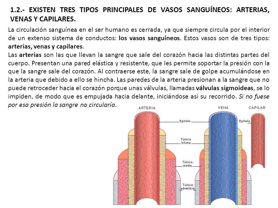 1.2.- EXISTEN TRES TIPOS PRINCIPALES DE VASOS SANGUÍNEOS: ARTERIAS, VENAS Y CAPILARES. La circulación sanguínea en el ser humano es cerrada, ya que si