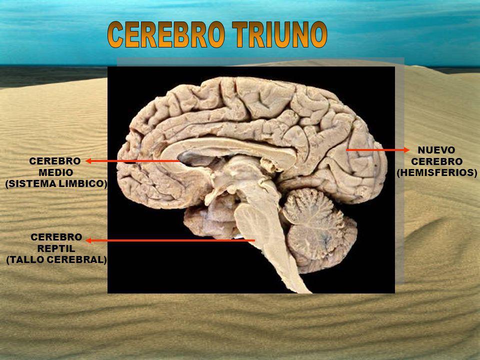 NUEVO CEREBRO (HEMISFERIOS) CEREBRO REPTIL (TALLO CEREBRAL) CEREBRO MEDIO (SISTEMA LIMBICO)