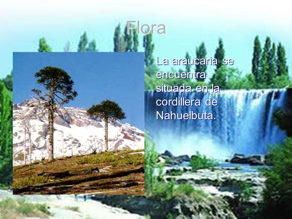 Flora La araucaria se encuentra situada en la cordillera de Nahuelbuta.