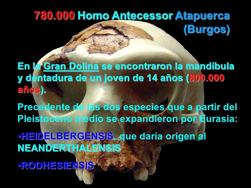 780.000 Homo Antecessor Atapuerca (Burgos) En la Gran Dolina se encontraron la mandíbula y dentadura de un joven de 14 años (800.000 años). Precedente
