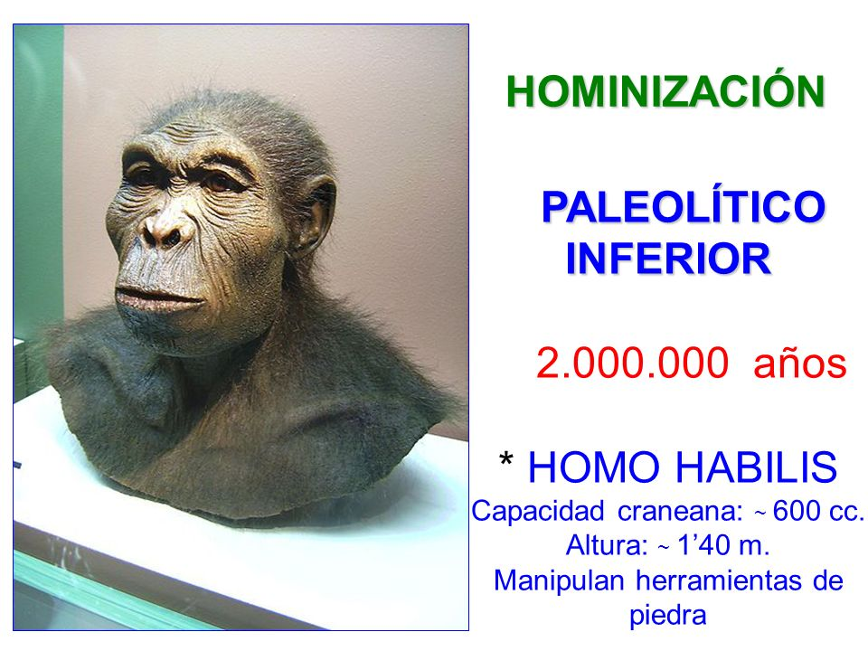 PALEOLÍTICO INFERIOR 2.000.000 años * HOMO HABILIS Capacidad craneana: ~ 600 cc. Altura: ~ 140 m. Manipulan herramientas de piedra HOMINIZACIÓN