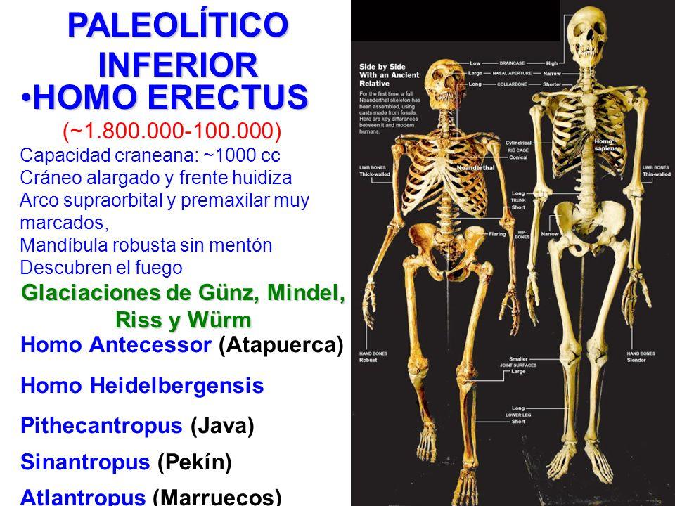 HOMO ERECTUSHOMO ERECTUS (~1.800.000-100.000) Capacidad craneana: ~1000 cc Cráneo alargado y frente huidiza Arco supraorbital y premaxilar muy marcado