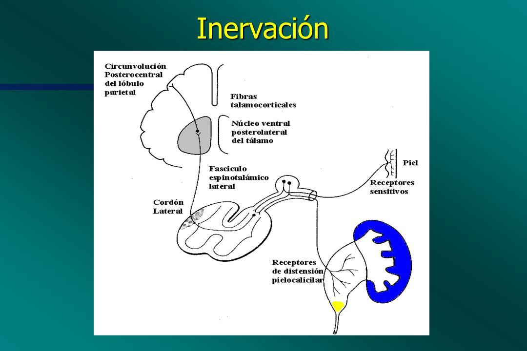 Inervación