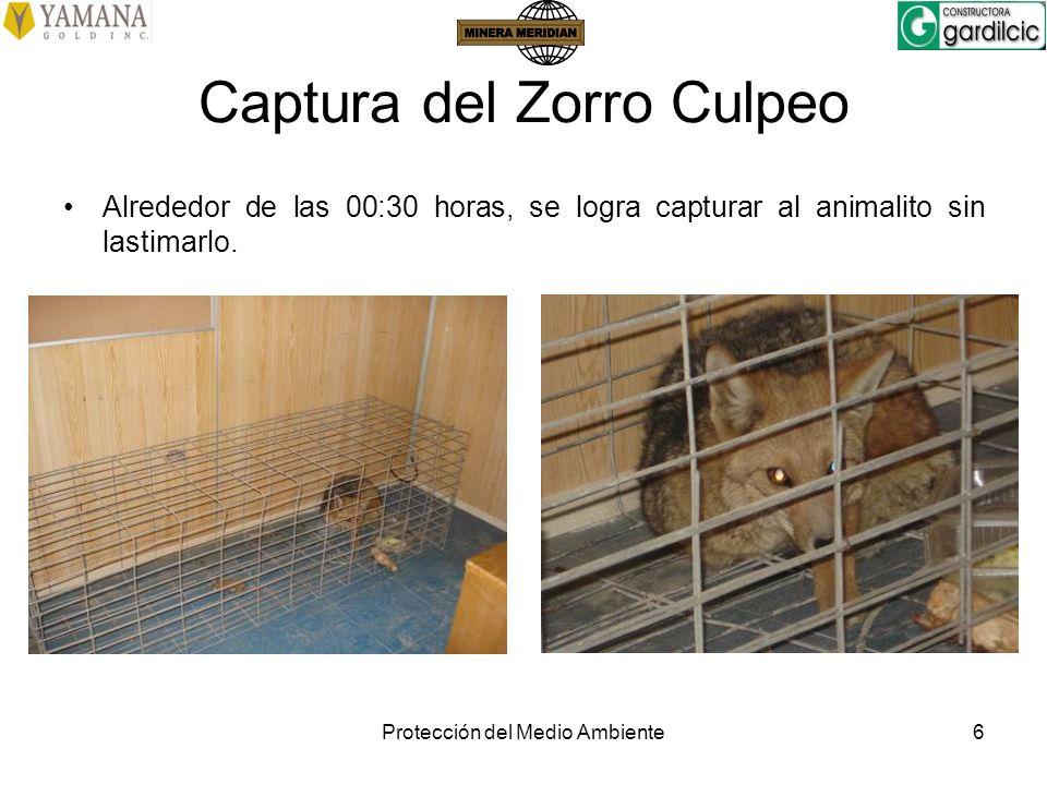 Protección del Medio Ambiente6 Captura del Zorro Culpeo Alrededor de las 00:30 horas, se logra capturar al animalito sin lastimarlo.
