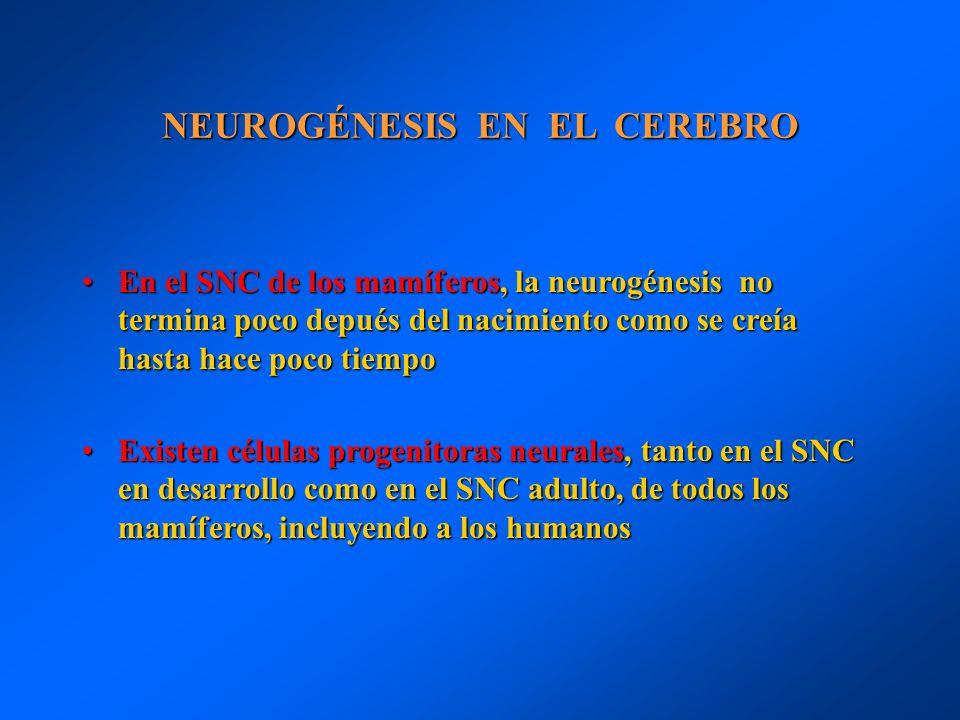 NEUROGÉNESIS EN EL CEREBRO En el SNC de los mamíferos, la neurogénesis no termina poco depués del nacimiento como se creía hasta hace poco tiempoEn el