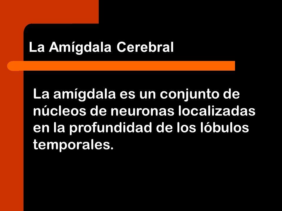 La amígdala es un conjunto de núcleos de neuronas localizadas en la profundidad de los lóbulos temporales. La Amígdala Cerebral