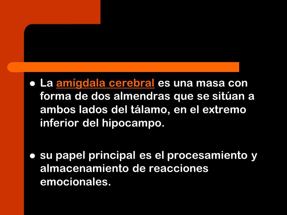 La amígdala cerebral es una masa con forma de dos almendras que se sitúan a ambos lados del tálamo, en el extremo inferior del hipocampo.amígdala cere