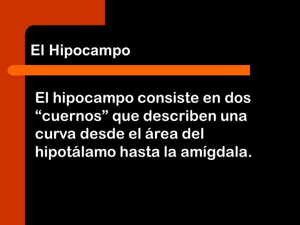 El hipocampo consiste en dos cuernos que describen una curva desde el área del hipotálamo hasta la amígdala. El Hipocampo