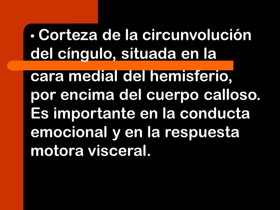 Corteza de la circunvolución del cíngulo, situada en la cara medial del hemisferio, por encima del cuerpo calloso. Es importante en la conducta emocio