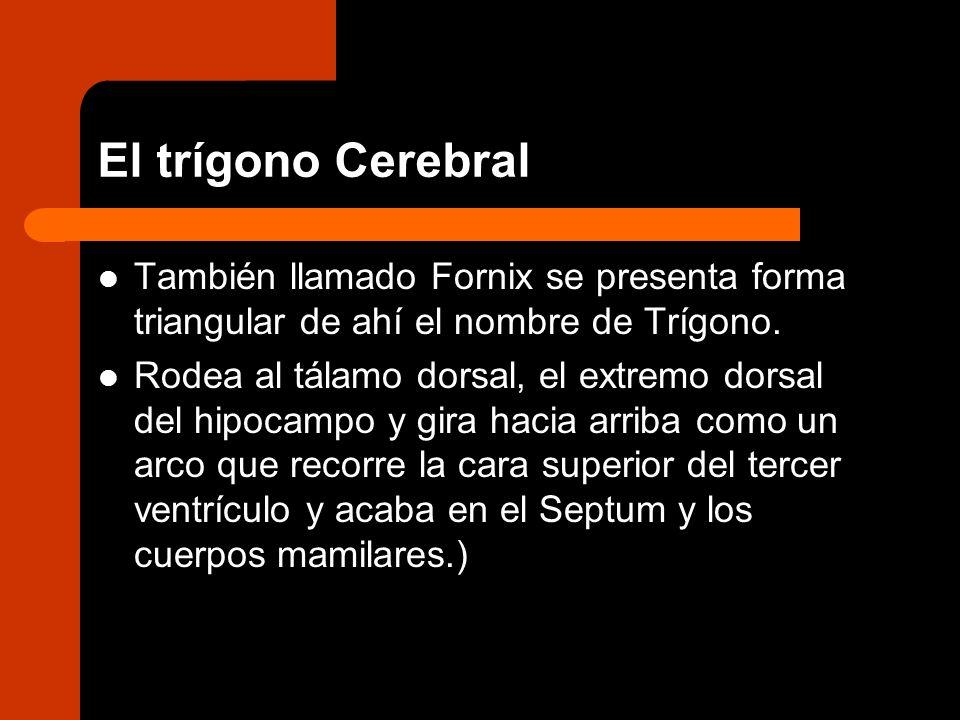 El trígono Cerebral También llamado Fornix se presenta forma triangular de ahí el nombre de Trígono. Rodea al tálamo dorsal, el extremo dorsal del hip
