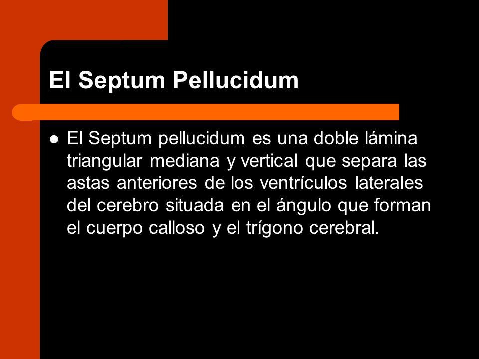 El Septum Pellucidum El Septum pellucidum es una doble lámina triangular mediana y vertical que separa las astas anteriores de los ventrículos lateral