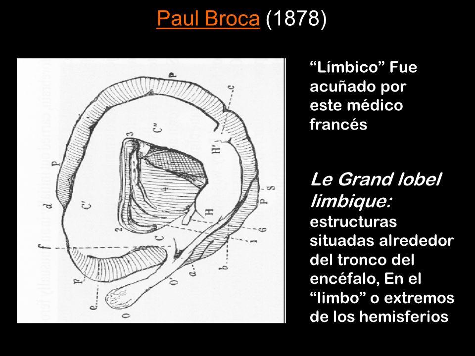 Límbico Fue acuñado por este médico francés Le Grand lobel limbique: estructuras situadas alrededor del tronco del encéfalo, En el limbo o extremos de