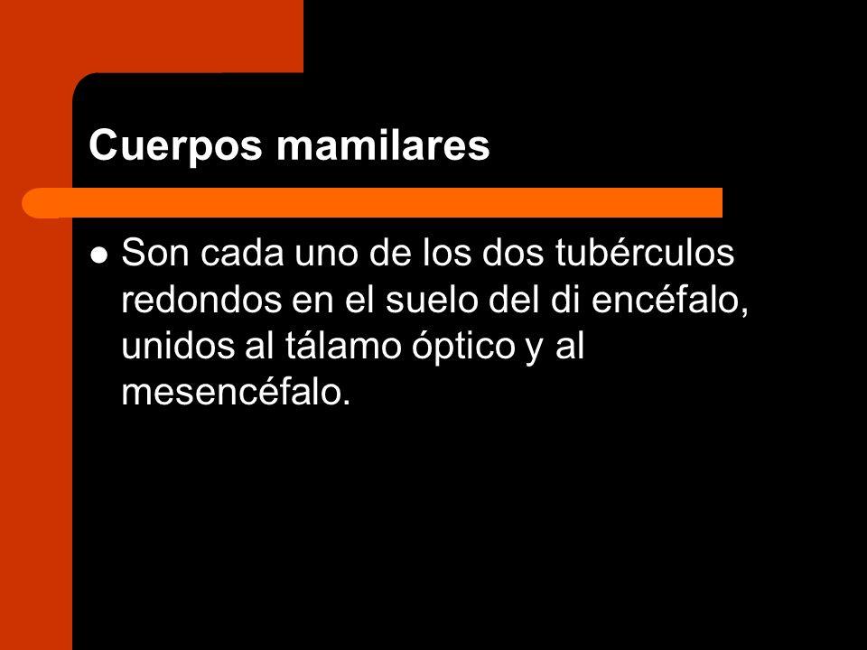Cuerpos mamilares Son cada uno de los dos tubérculos redondos en el suelo del di encéfalo, unidos al tálamo óptico y al mesencéfalo.