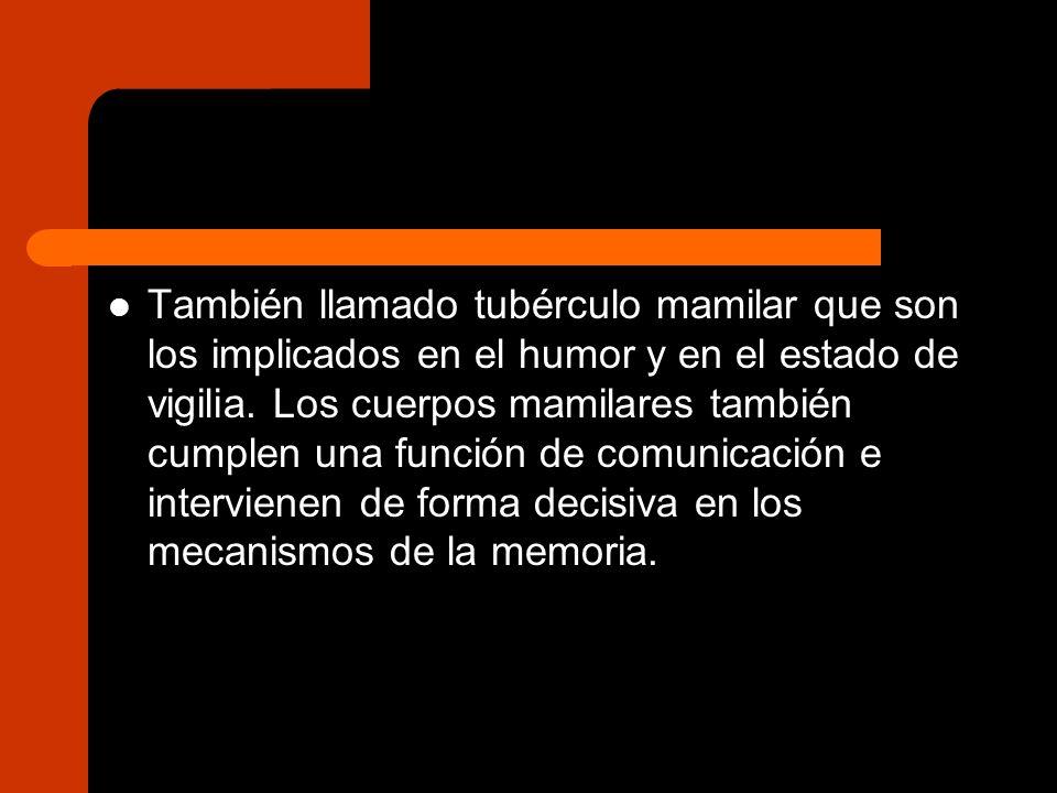 También llamado tubérculo mamilar que son los implicados en el humor y en el estado de vigilia. Los cuerpos mamilares también cumplen una función de c