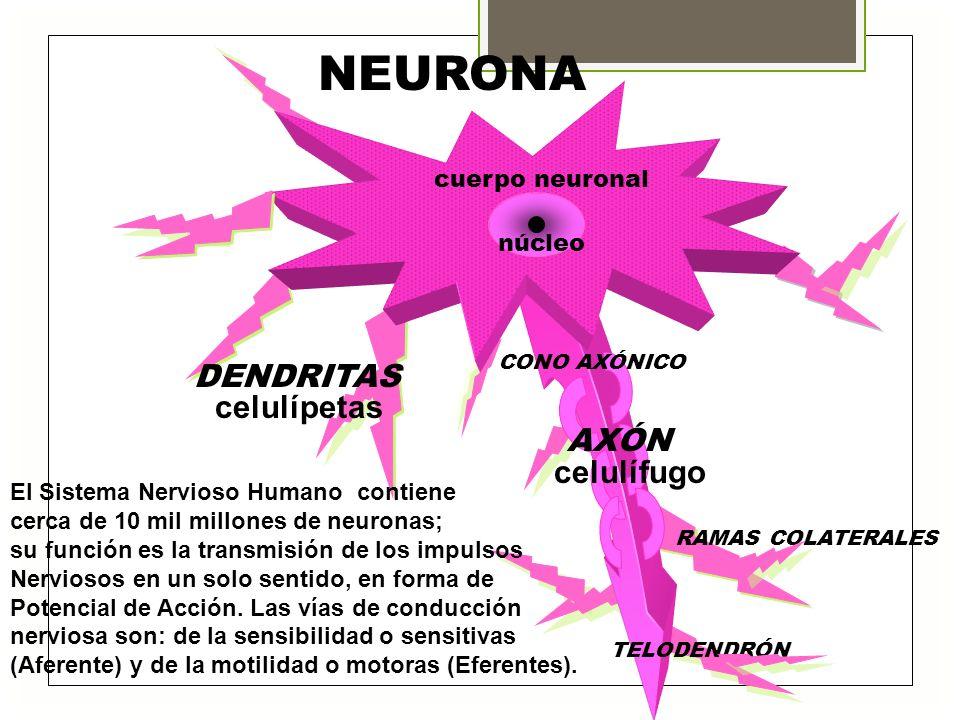 NEURONA DENDRITAS celulípetas RAMAS COLATERALES TELODENDRÓN cuerpo neuronal núcleo CONO AXÓNICO AXÓN celulífugo El Sistema Nervioso Humano contiene ce